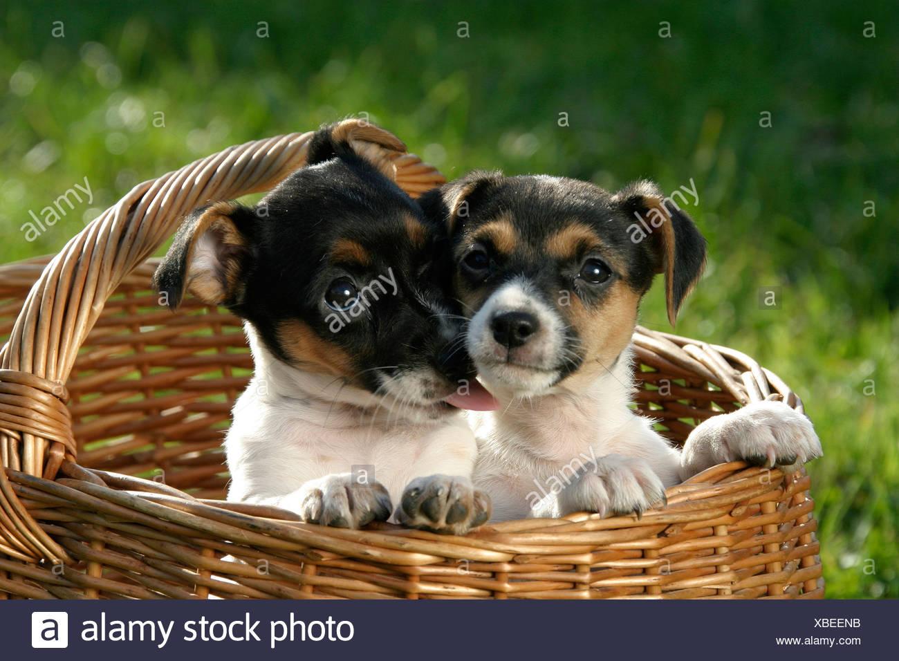 Zwei Jack Russell Terrier Welpen im Korb Stockfoto, Bild