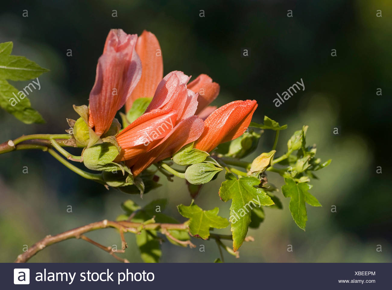 Lachs-rot Kanarischen Strauch Malve (Lavatera Phoenicea), blühen, Kanarische Inseln, Teneriffa Stockbild