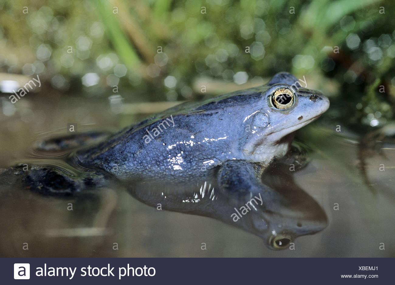 Moor Frosch (Rana Arvalis), männliche blau färben während der ...