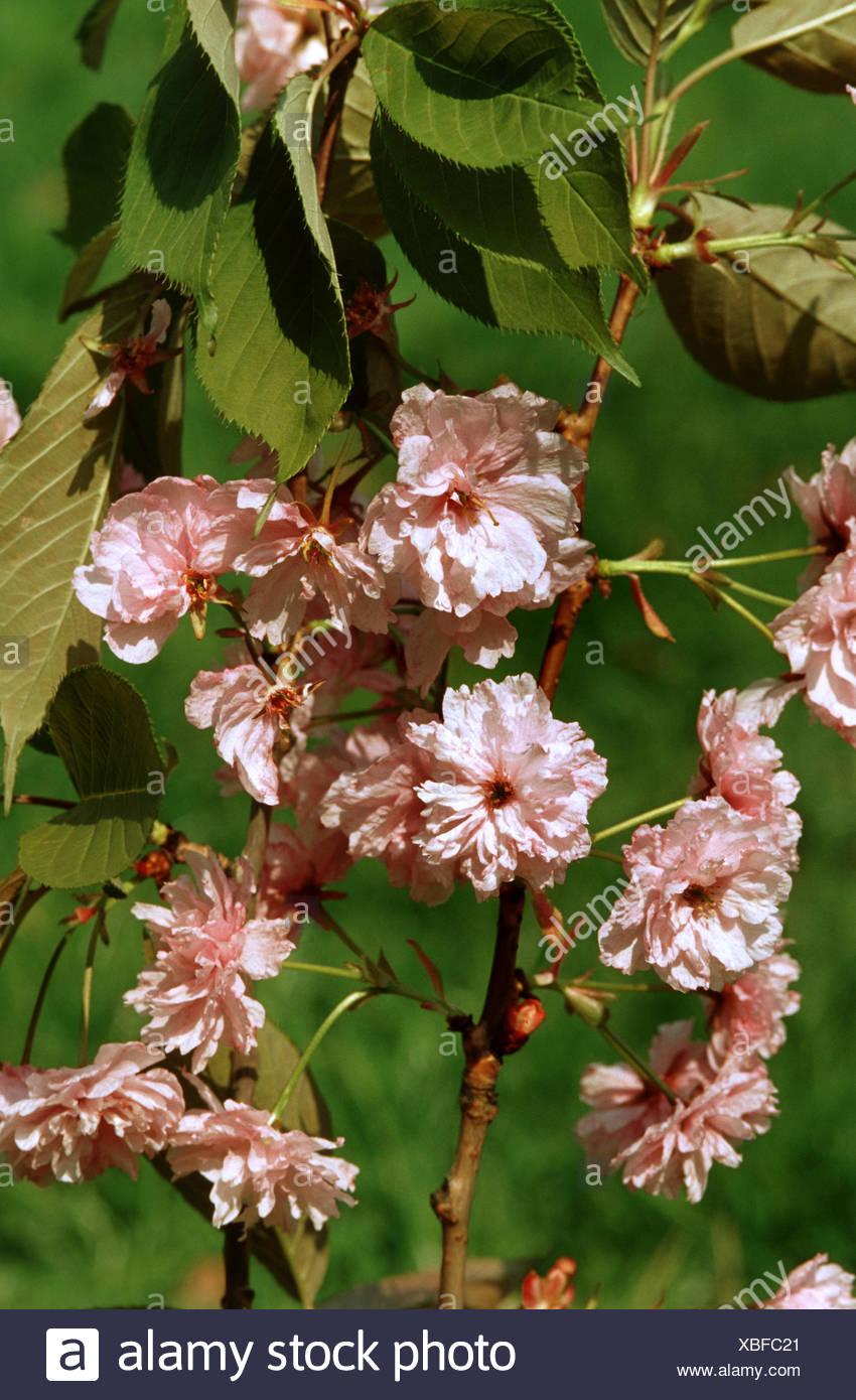orientalische Kirsche (Prunus 'Pink Perfektion', Prunus Pink Perfektion), blühender Zweig Sorte Pink Perfektion Stockbild