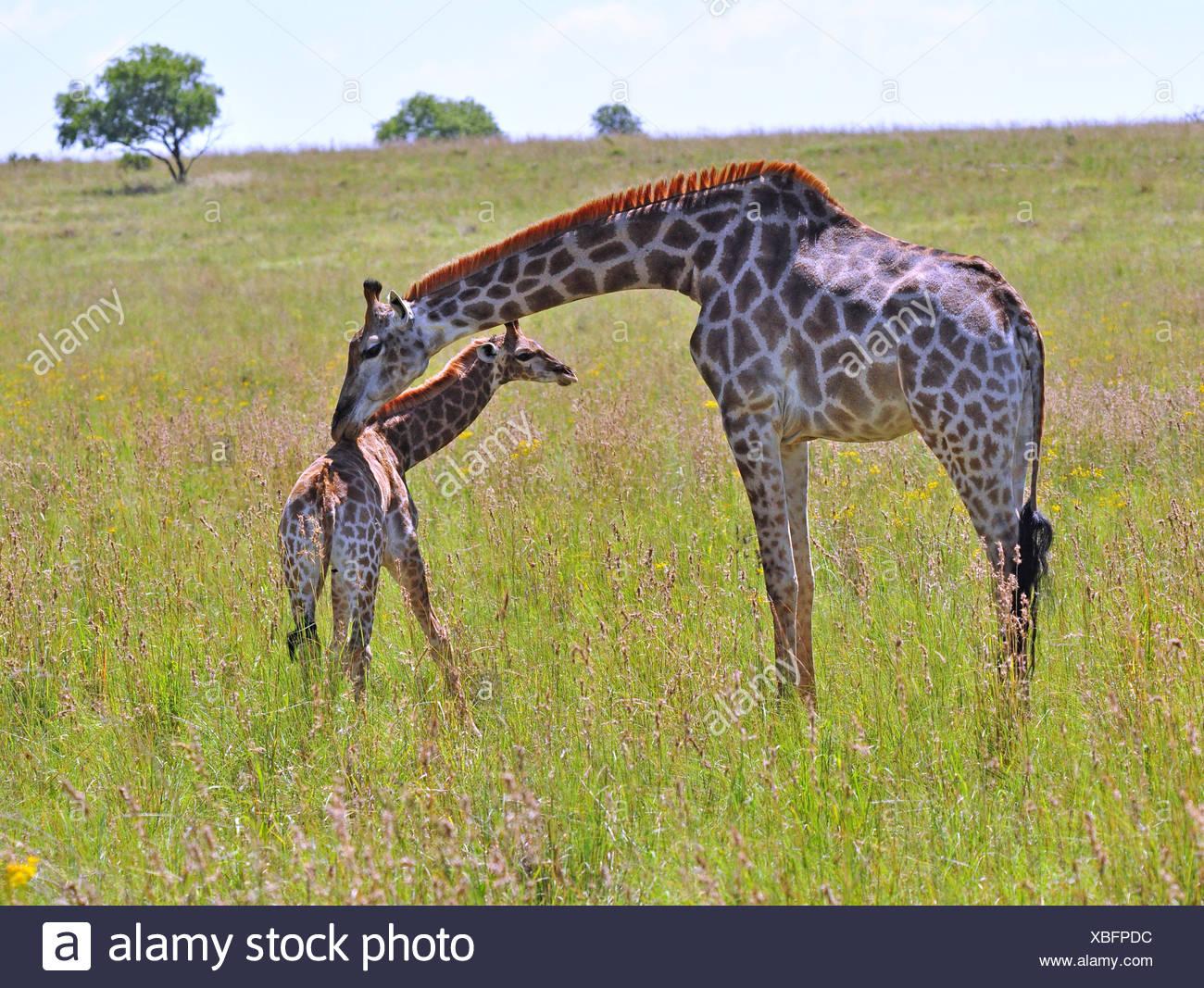 Weibliche Giraffe in Afrika mit einem Kalb. Stockbild