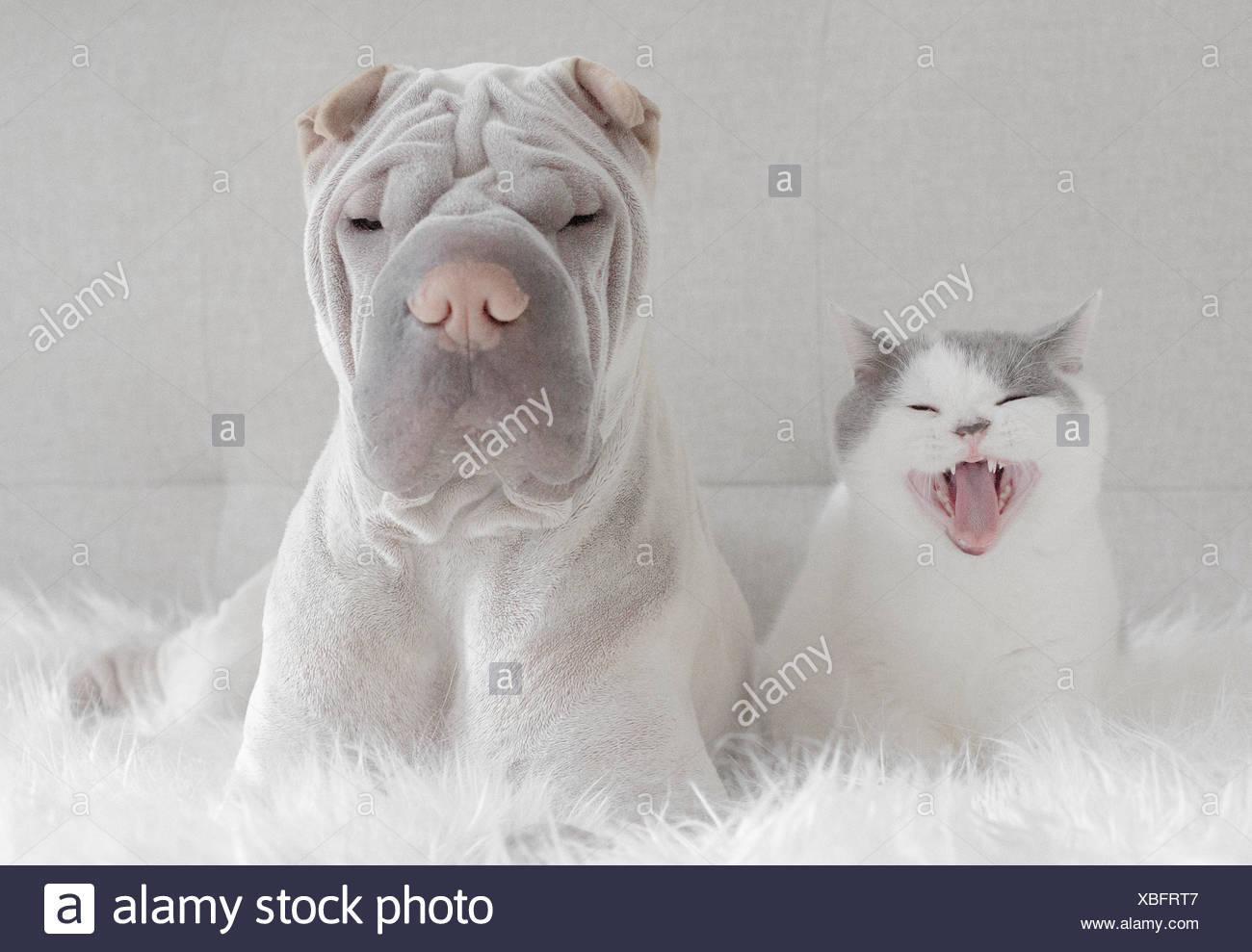 Frontansicht des Shar pei und Katze Stockbild
