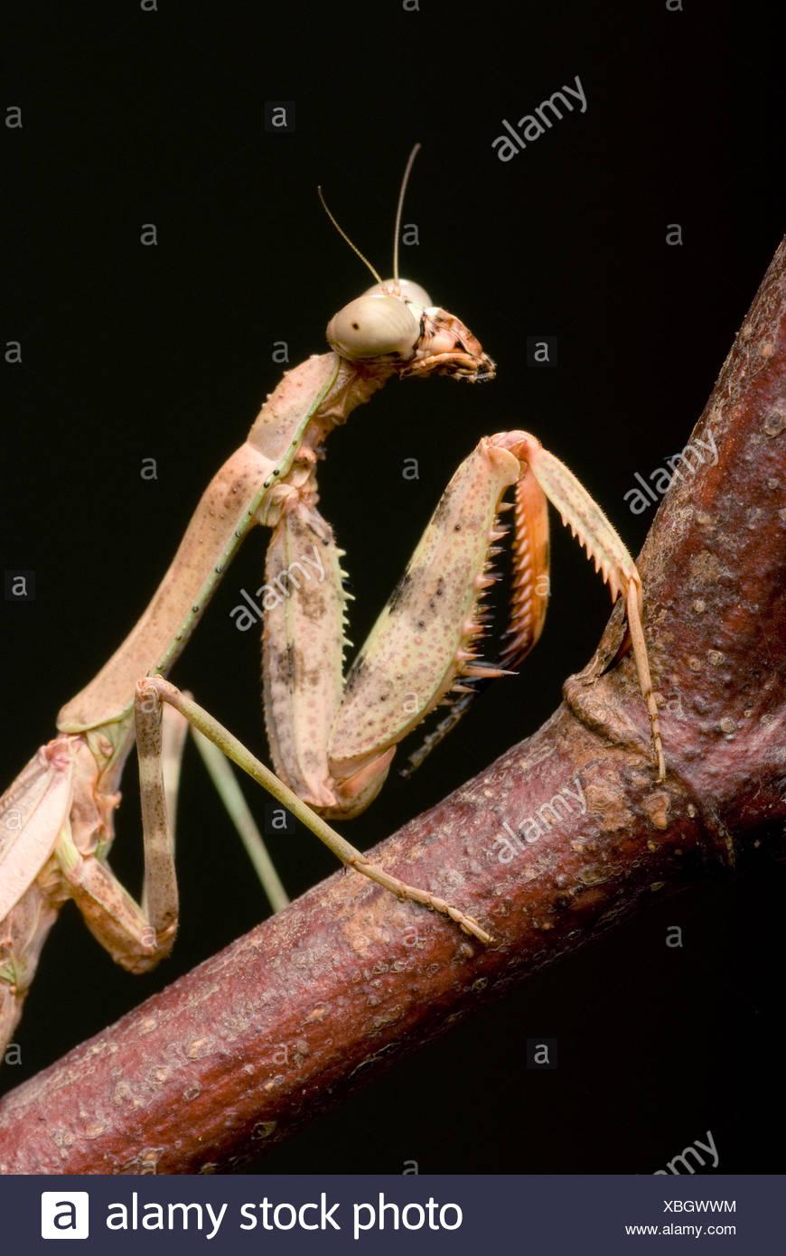 Budwing Mantis (Parasphendale Agrionina), portrait Stockfoto