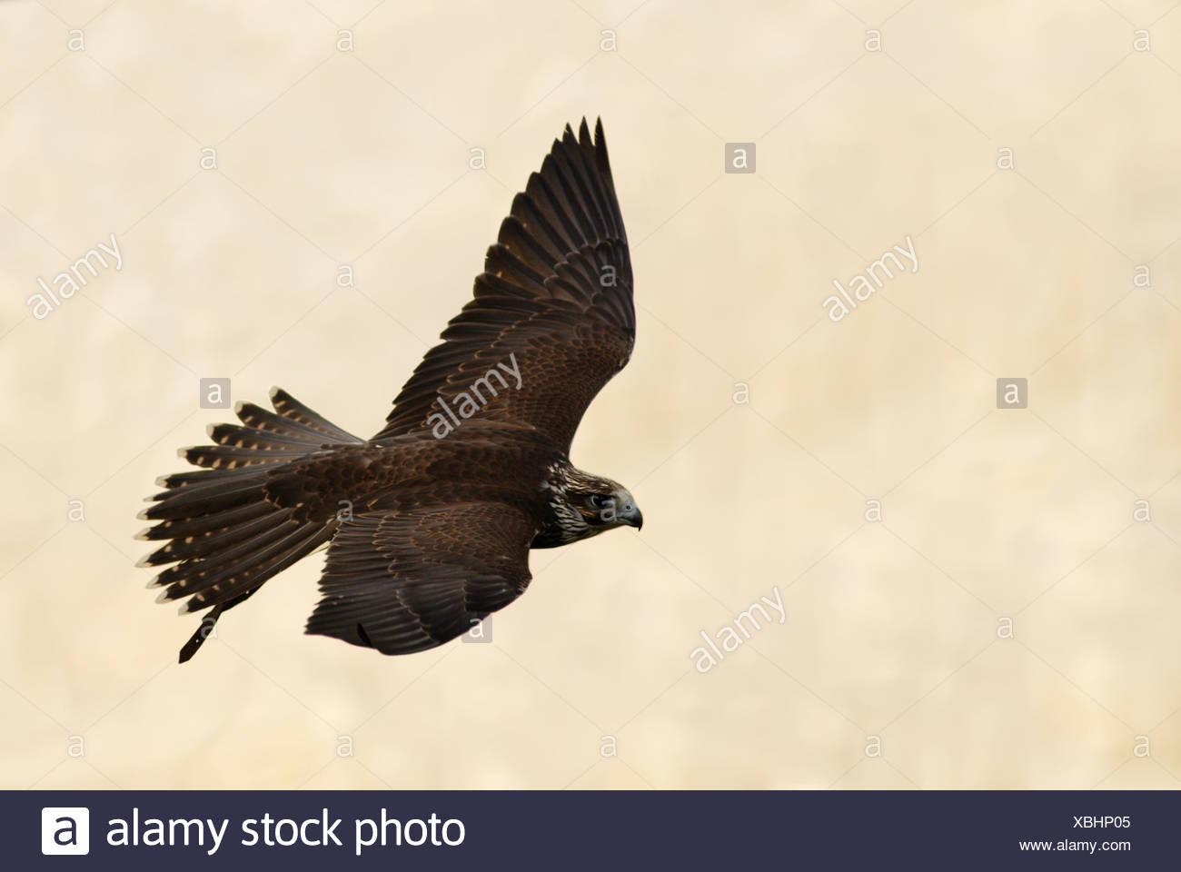 Saker Falcon-Falco Cherrug) fliegen Stockbild