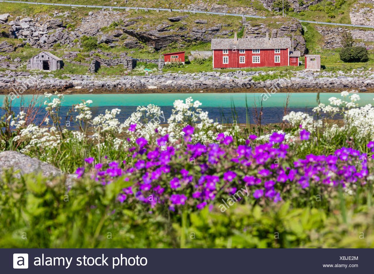 Flowers Of Lofoten Stockfotos & Flowers Of Lofoten Bilder - Alamy