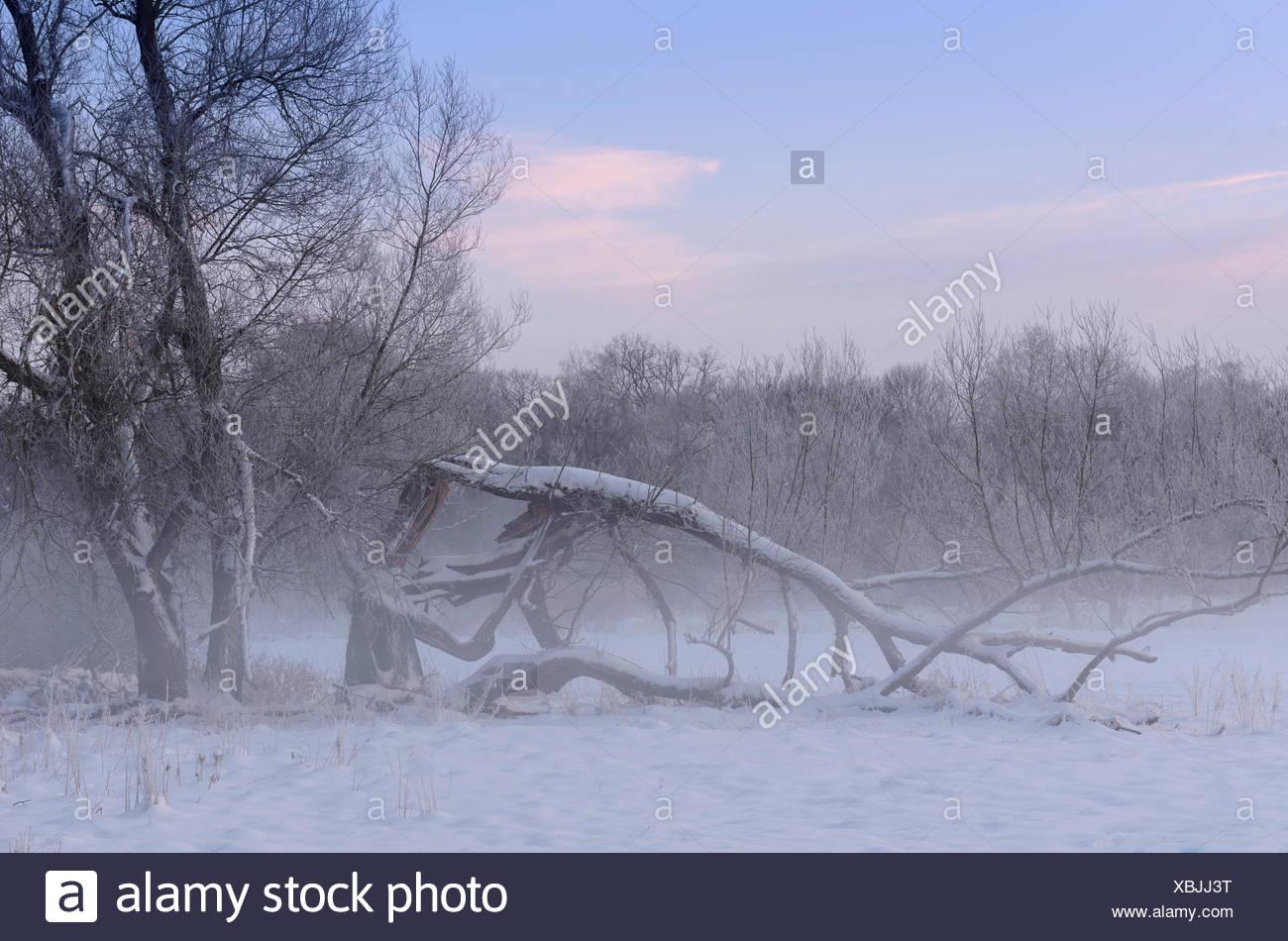 Deutschland, Nordrhein-Westfalen, Wahner Heide, Aggeraue, Schneebedeckte Bäume in der Aggeraue Im Morgennebel, Stockbild
