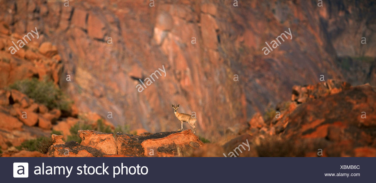 Fernblick über Klipspringer (Oreotragus Oreotragus) auf Felsen, Karoo Nationalpark, Provinz Westkap, Südafrika Stockbild