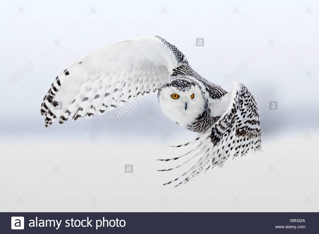 Schneeeule im Flug, Ottawa, Kanada Stockbild