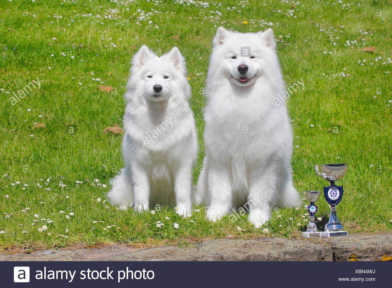 Samojede, Samojeden, Samoiedskaïa Sabaka (Canis Lupus F. Familiaris), Zwei Samojeden Nebeneinander Auf der Wiese Mit Einem Pokal v Stockbild