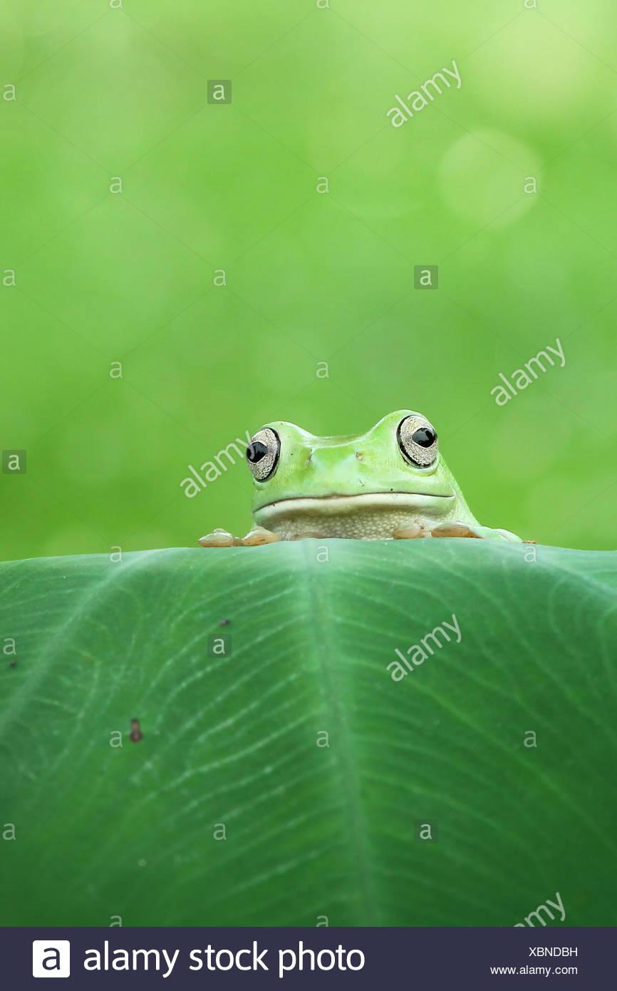 Frosch mit Blick auf die Oberseite eines Blattes Stockbild