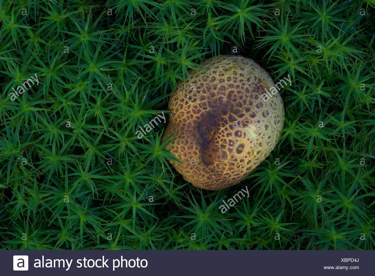 Erde Ball Pilz (Sklerodermie Citrinum) unter den Moosen. UK Stockbild