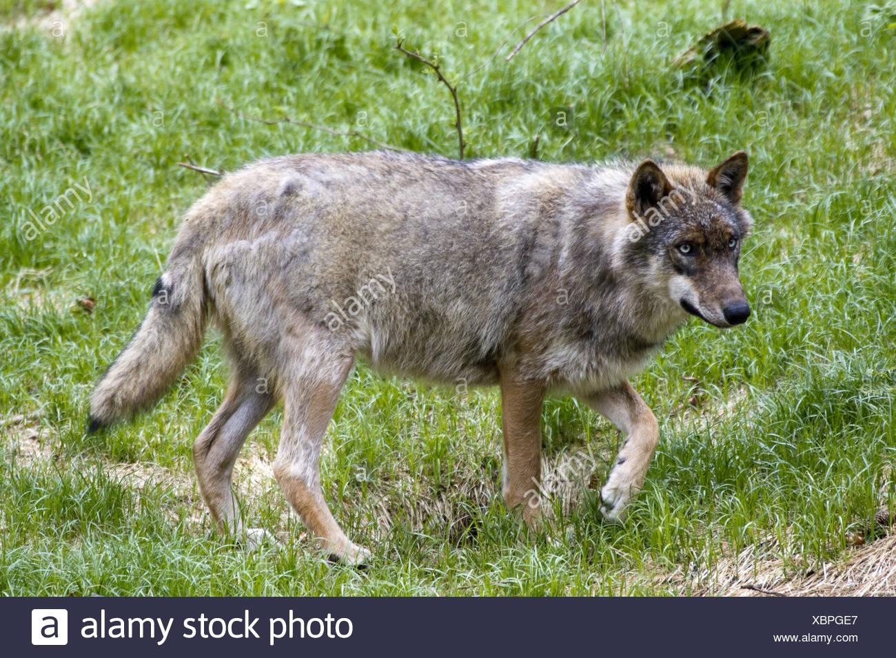 Lone wolf Stockbild