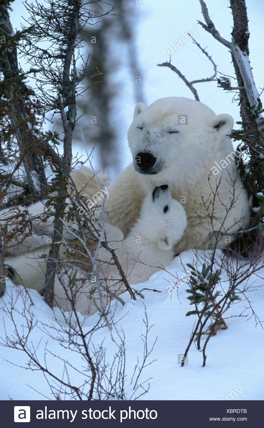 Eisbär und cub Stockbild