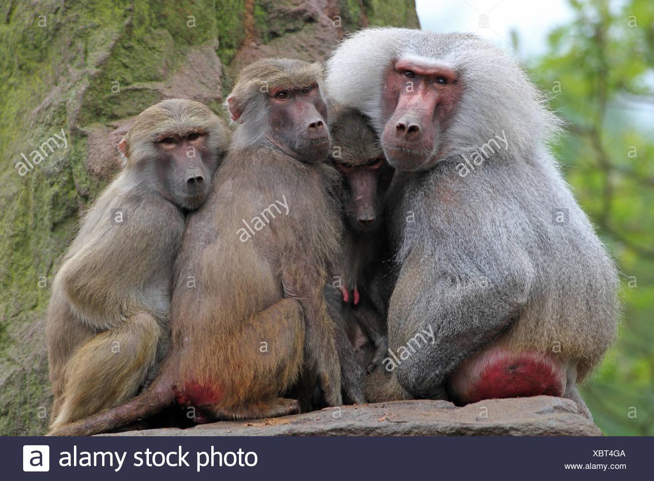 Zoo Zusammenhalt Pavian Stockbild