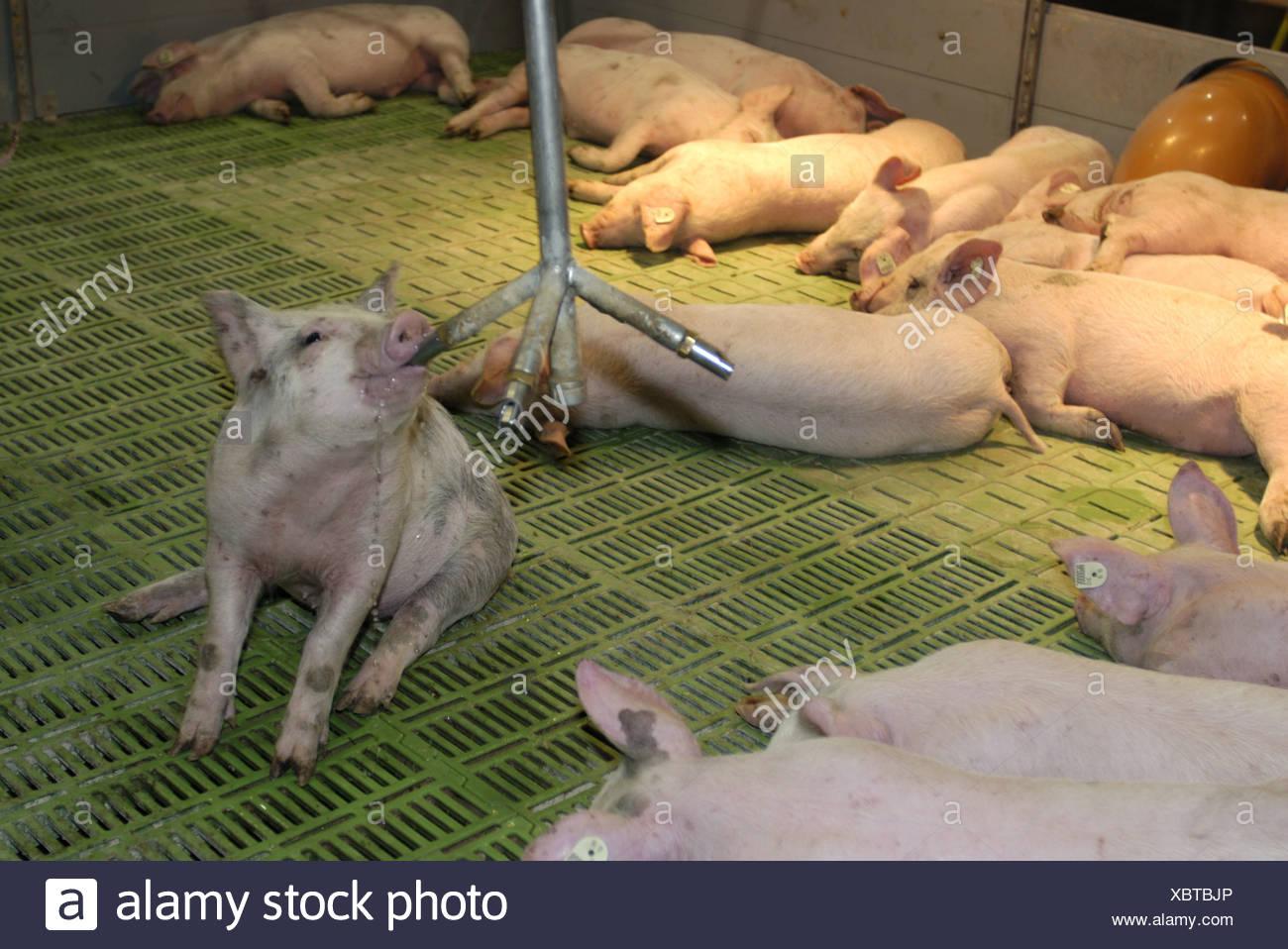 Moderne Schweinehaltung: bei Absetzen der Ferkel Stockbild