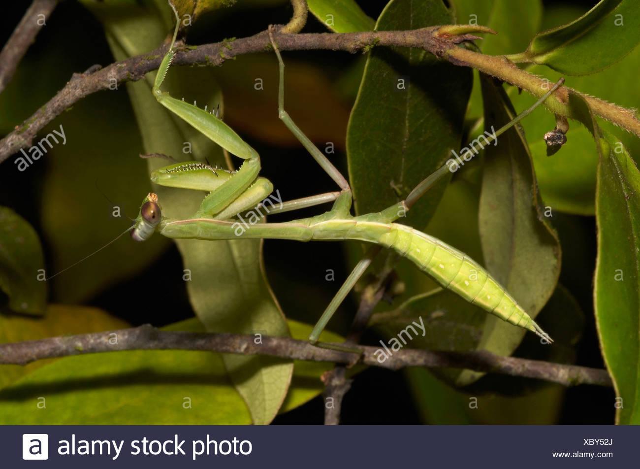 INSEKT, MANTIS. Mantis mit Flügel Knospen. Wahrscheinlich eine flugunfähige erwachsenes Weibchen. Fotografiert in der Nacht in Agumbe, Karnataka, Indien. Stockbild
