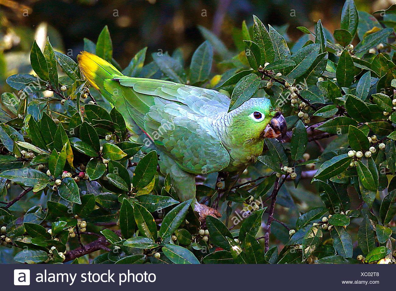 Muelleramazone, Müller-Amazone (Amazona Farinosa), Bei der Nahrungssuche Auf Einem Strauch, Costa Rica   Mehlig Amazon, mehlig pa Stockbild