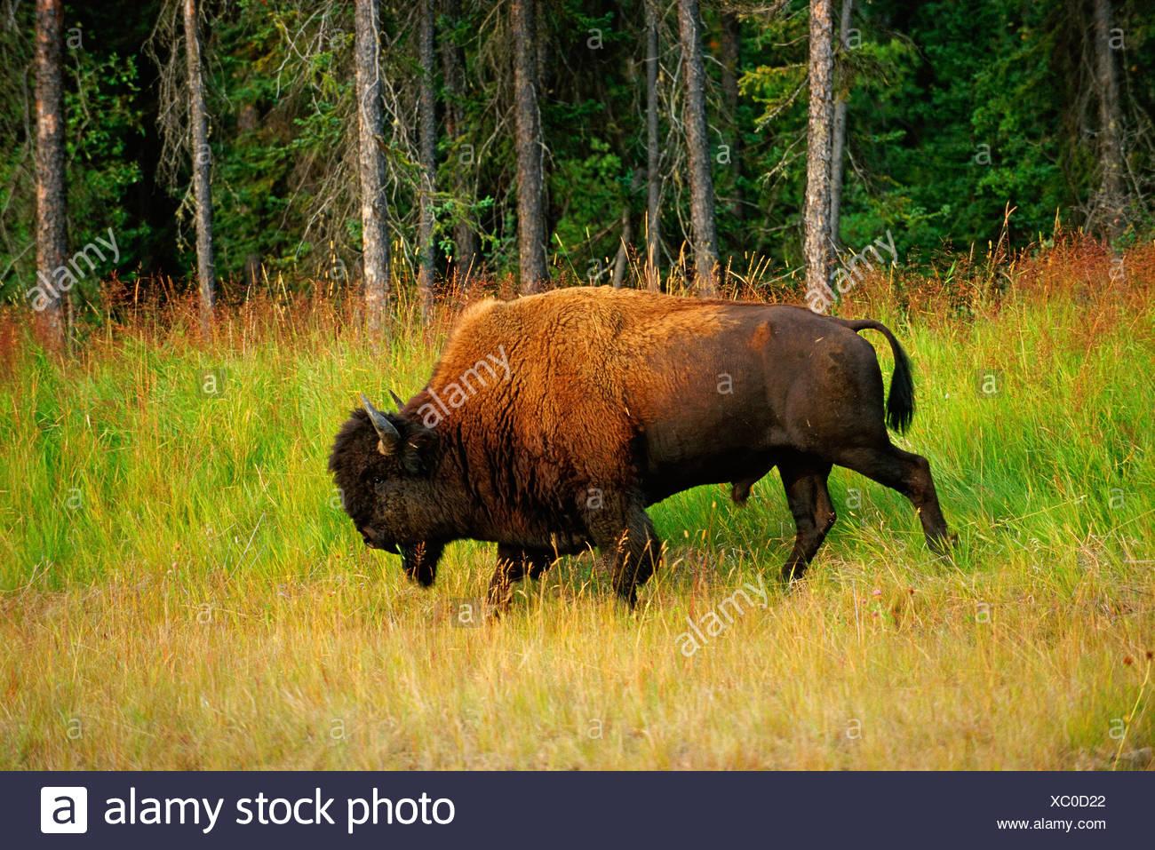 Seitenansicht des Bisons (Bison Bison) am Rande des Waldes, Coal River, British Columbia, Kanada Stockbild