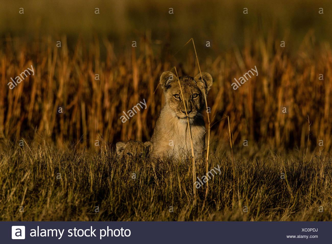 Portrait einer Löwin, Panthera Leo und ihr junges in Botswanas Okavango Delta. Stockbild