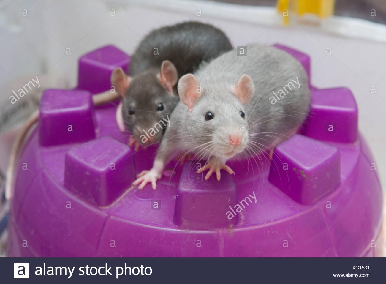 Zwei neugierige junge Haustier Ratten (Rattus Norvegicus) auf ihre Iglu House, Saskatchewan, Kanada Stockbild
