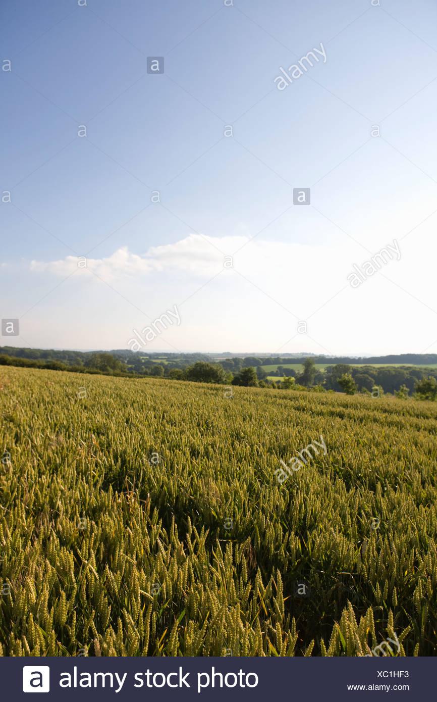 Schräge Weizenfeld Stockbild