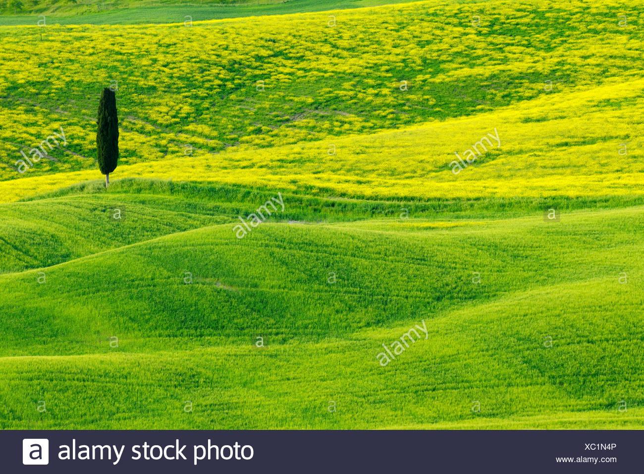 Italienische Zypresse (Cupressus Sempervirens), grüne und hügelige Ackerland mit Cypress, Val d' Orcia, San Quirico d' Orcia, Italien, Toskana Stockbild