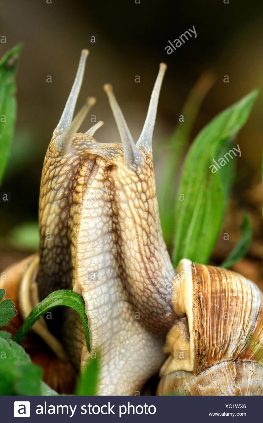 Essbare Schnecken Schnecke Weichtiere Mollusca essbare Schnecken Helix Pomatia Schnecke Schneckenhäuser Paarung Frühling grass Tier Germa Stockbild