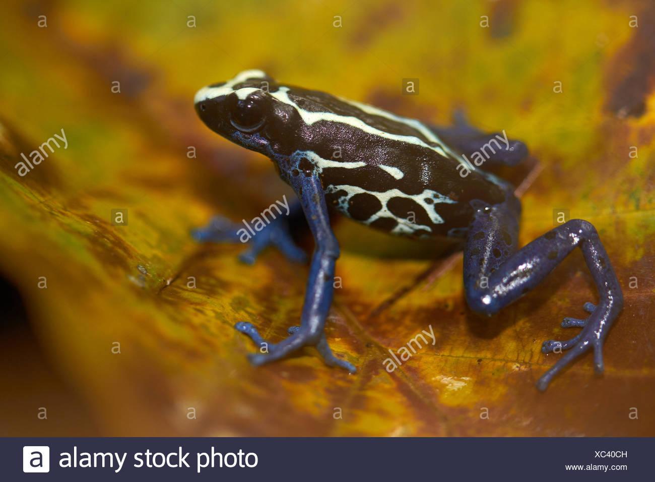Färben von Dart Frosch auf Blatt im Wald - Französisch-Guayana ...