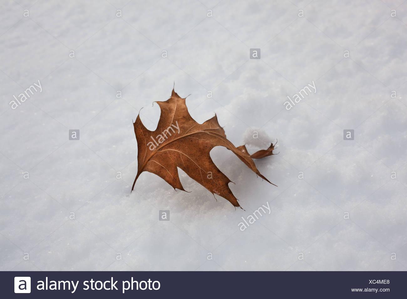 Einzelnes Blatt im Schnee Stockbild