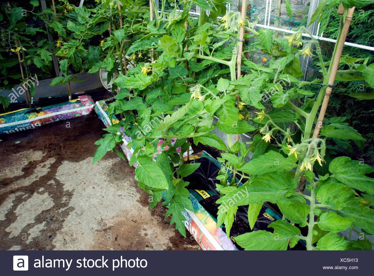 Tomaten Pflanzen Automatische Bewasserung Im Gewachshaus Stockfoto