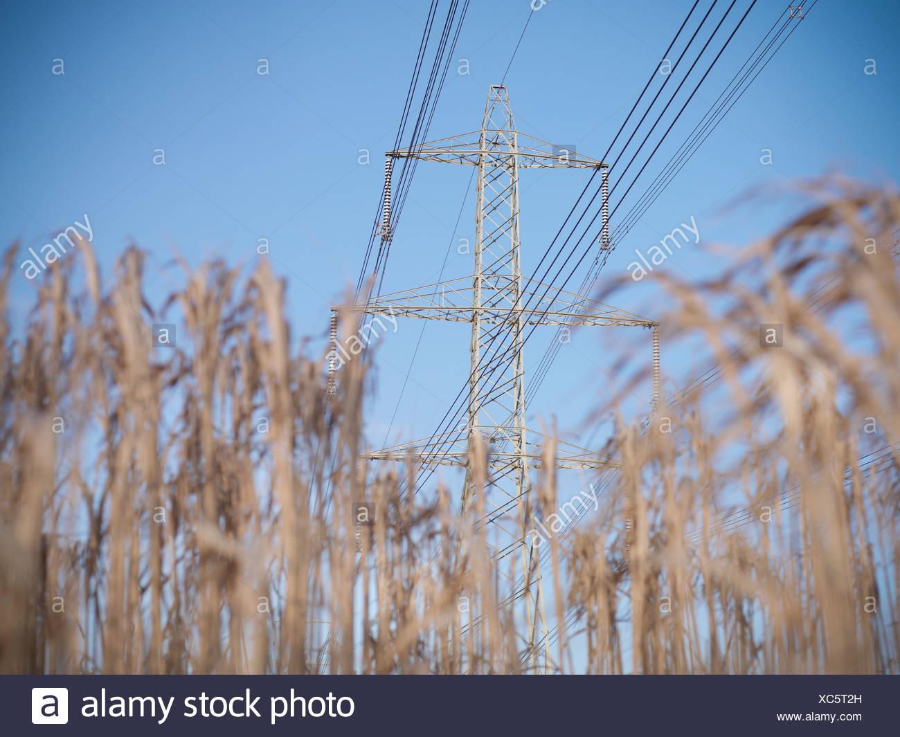 Stromleitungen über Feld von Elefantengras Stockbild