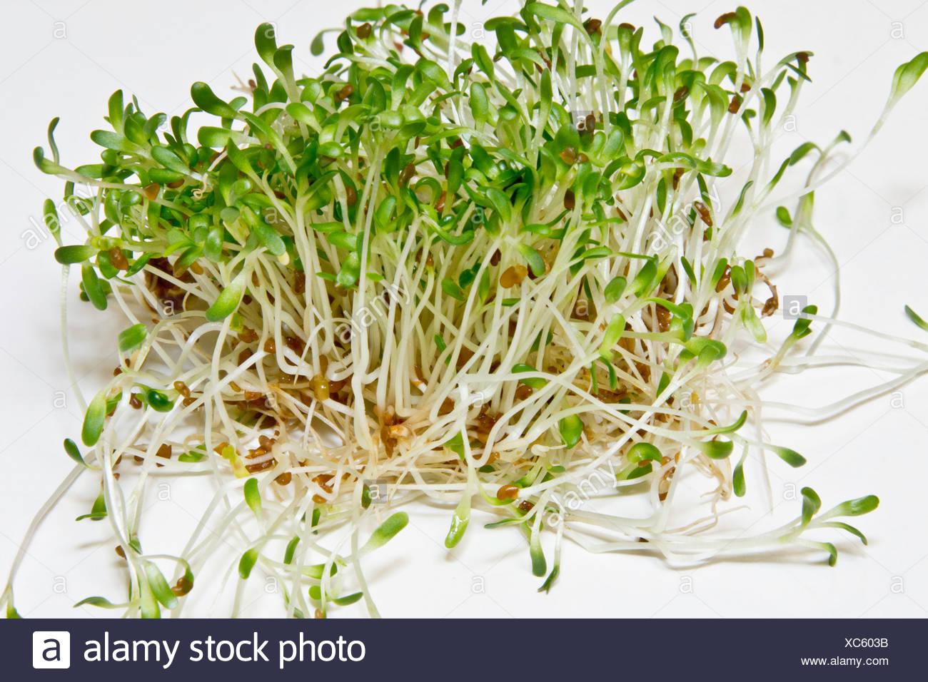 alfalfa lucerne medicago sativa medicago stockfotos alfalfa lucerne medicago sativa medicago. Black Bedroom Furniture Sets. Home Design Ideas