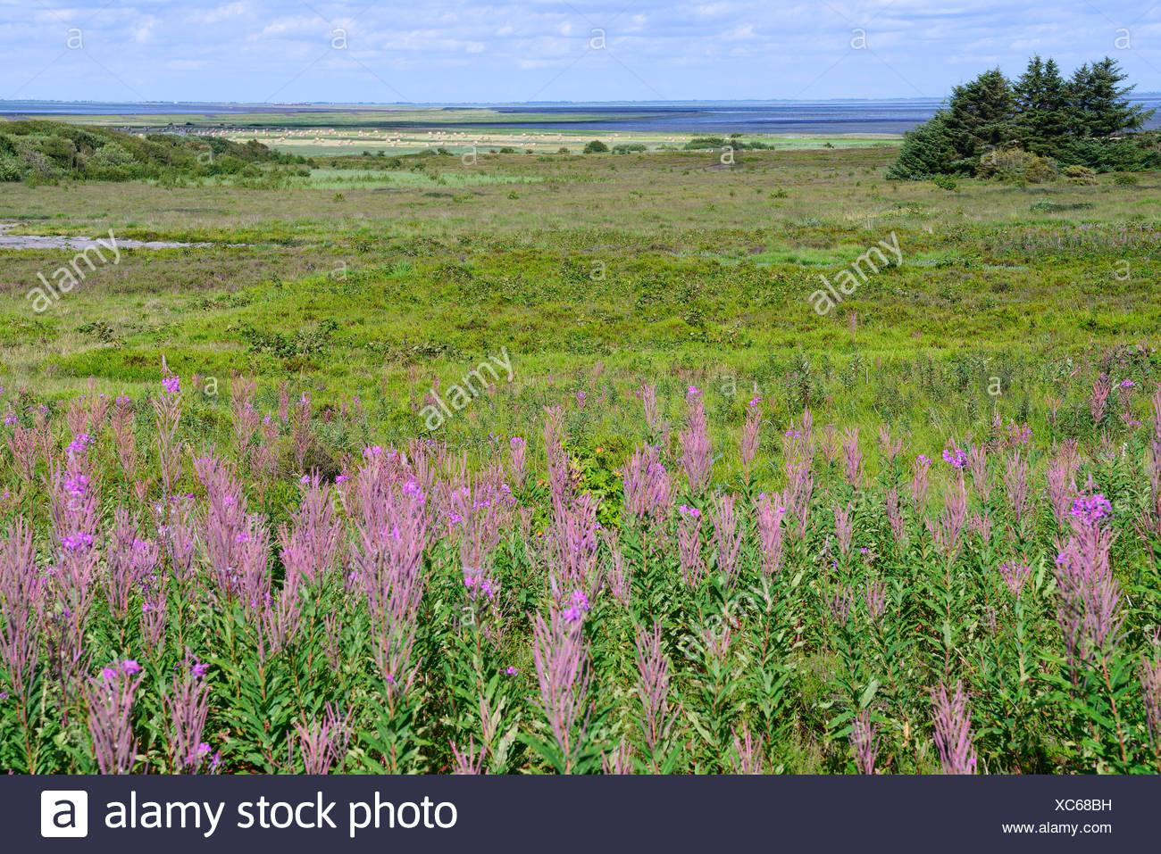 Morsum-Kliff, Morsum, Sylt, Nordfriesische Inseln, Nordfriesland, Schleswig-Holstein, Deutschland Stockbild