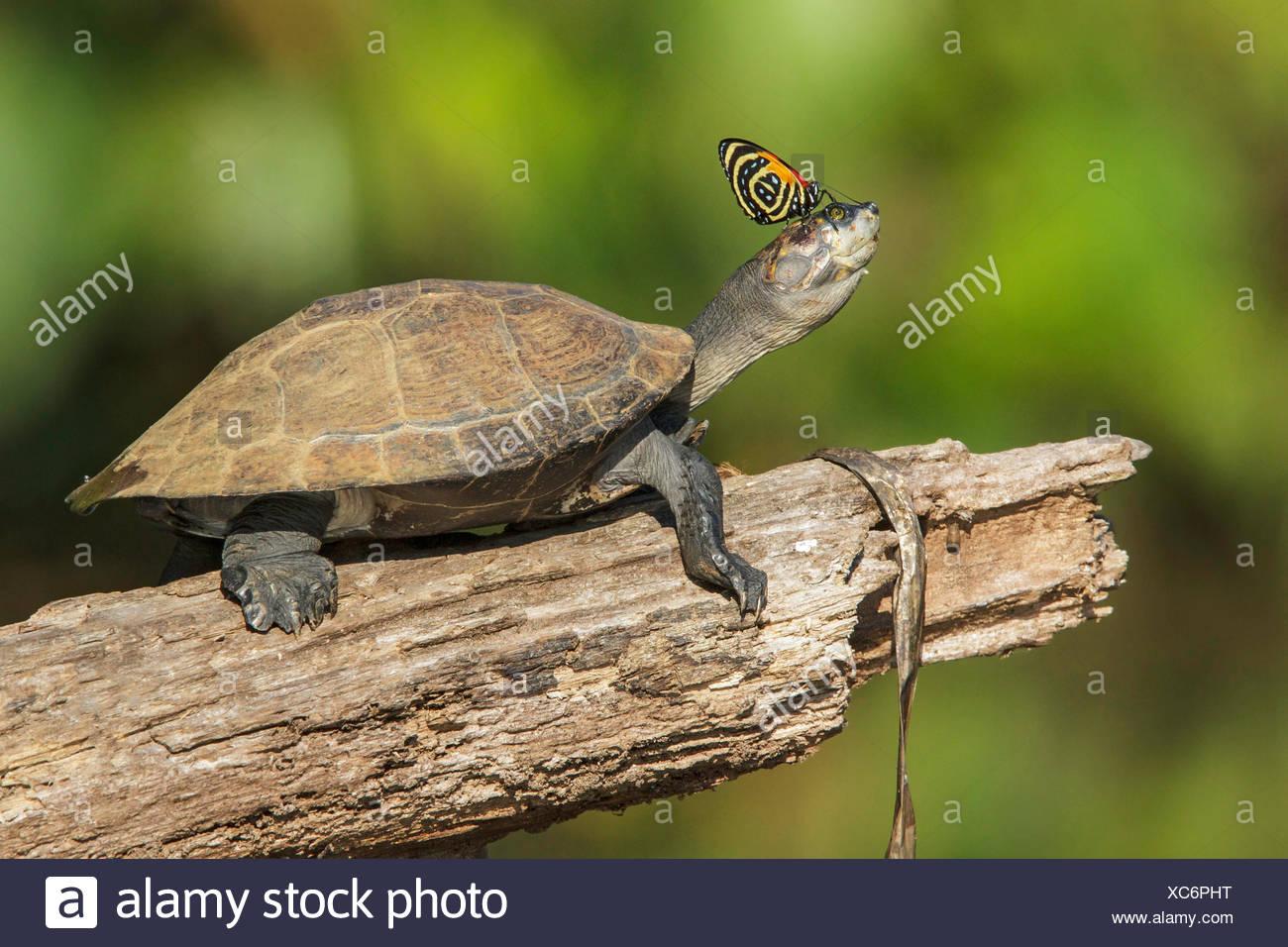Eine Schildkröte mit einem Schmetterling auf seiner Nase in Manu Nationalpark in Peru. Stockbild