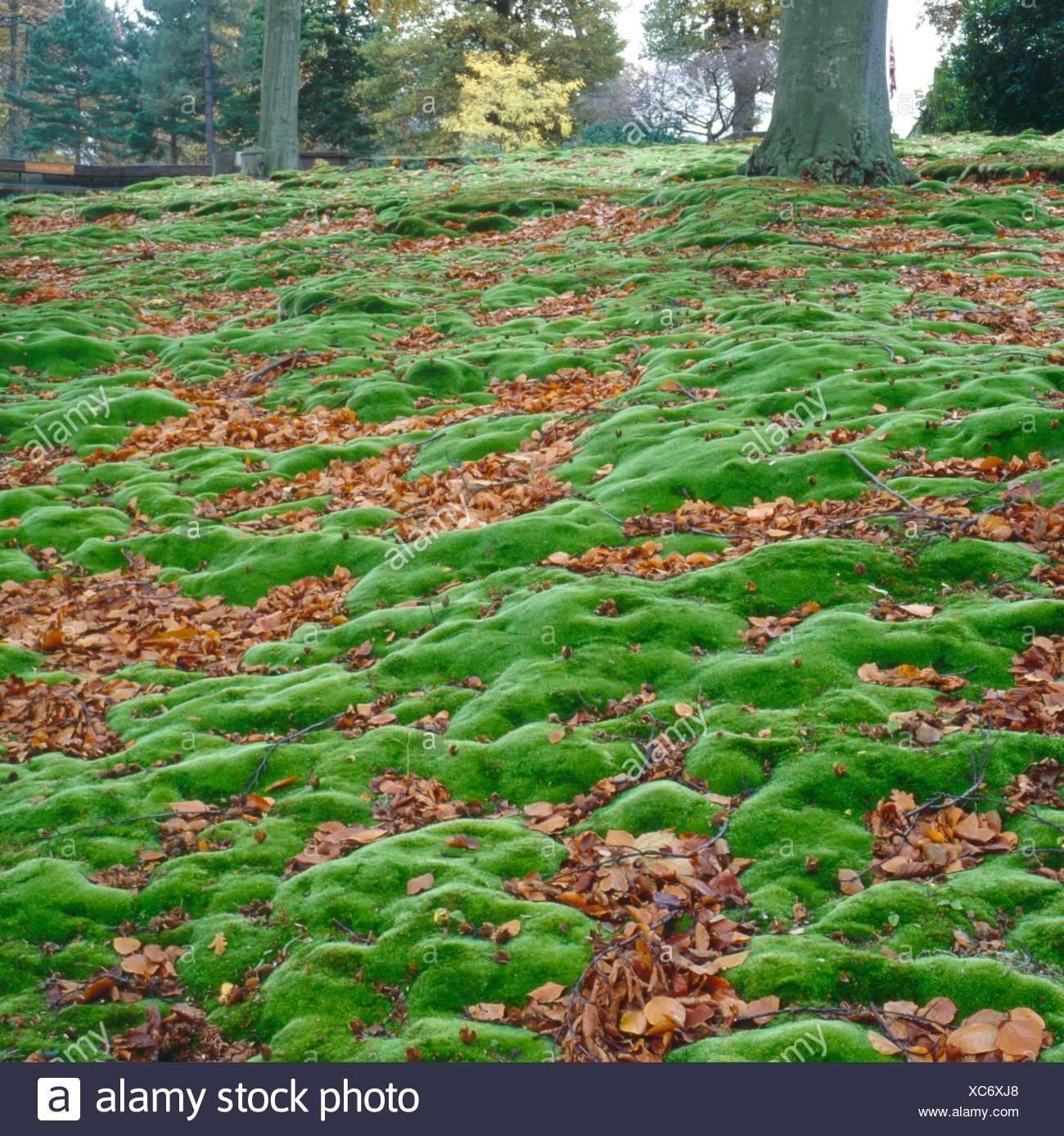 Rasen White Gabel Moos Leucobryum Glaucum Eine