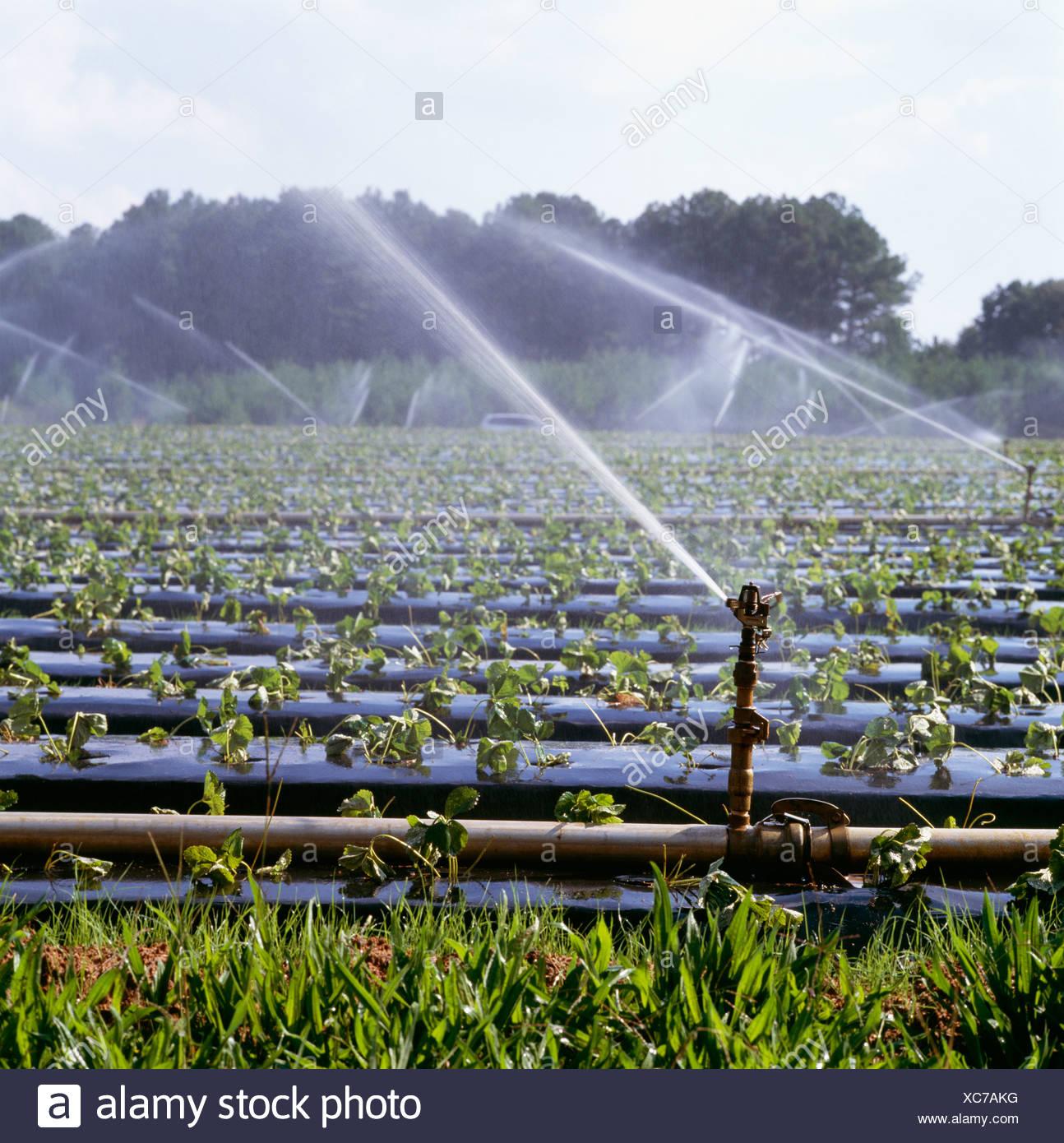 Bewasserung Neu Gepflanzt Erdbeeren Auf Hochbeeten Mit Kunststoff