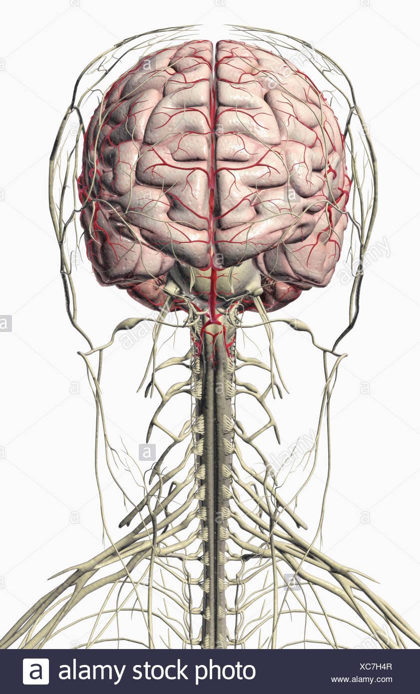 Ausgezeichnet Hals Anatomie Nerven Bilder - Menschliche Anatomie ...