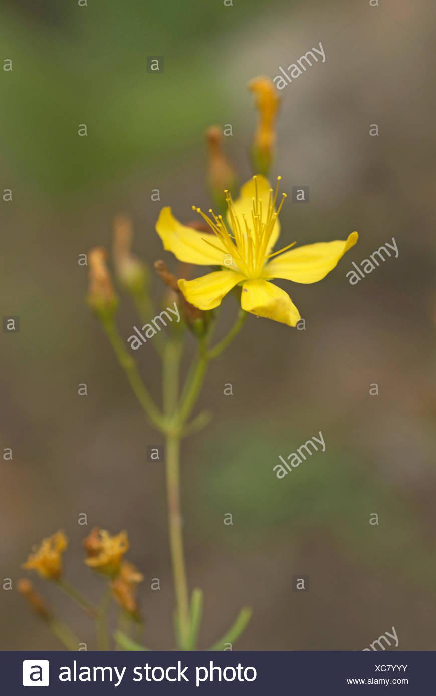 Whorly St.-Johanniskraut (Hypericum Coris), blühen Stockfoto