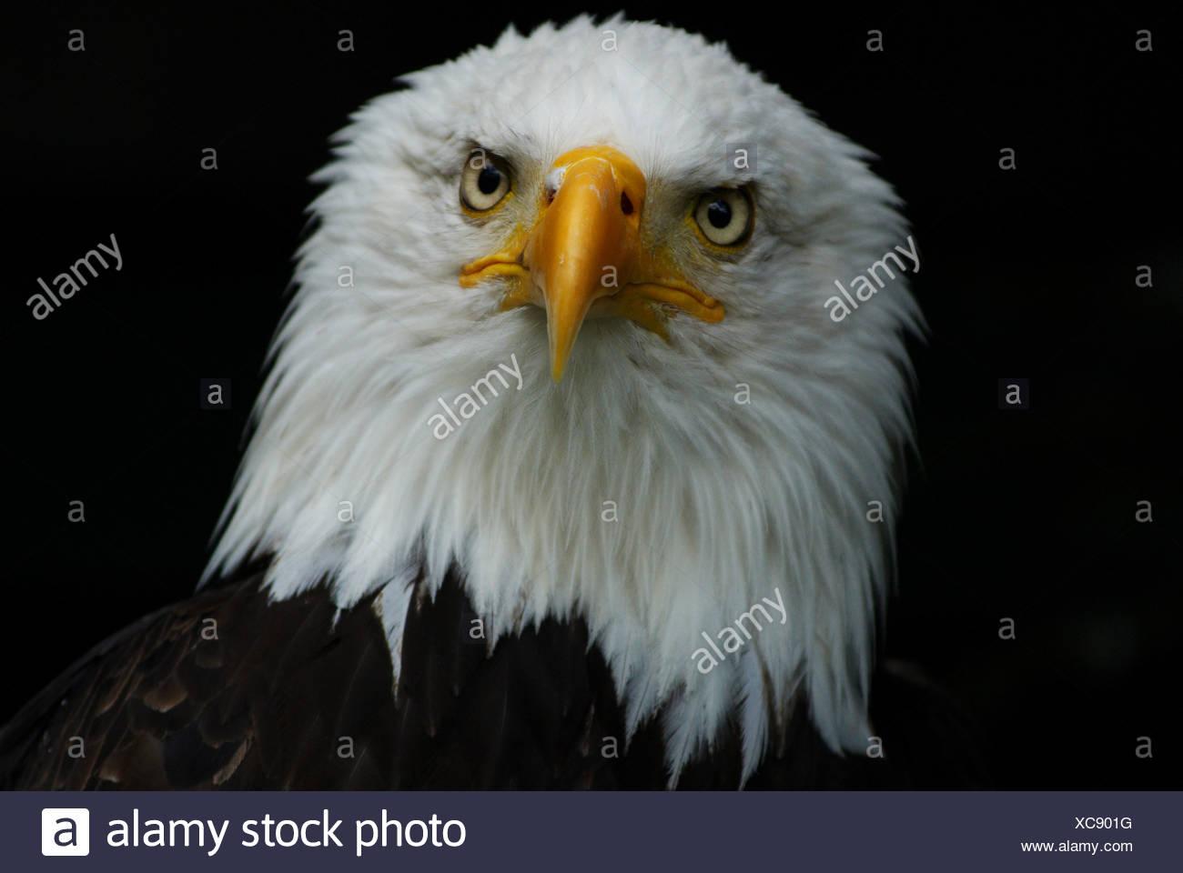Der Weißkopfseeadler (Haliaeetus leucocephalus) Stockbild