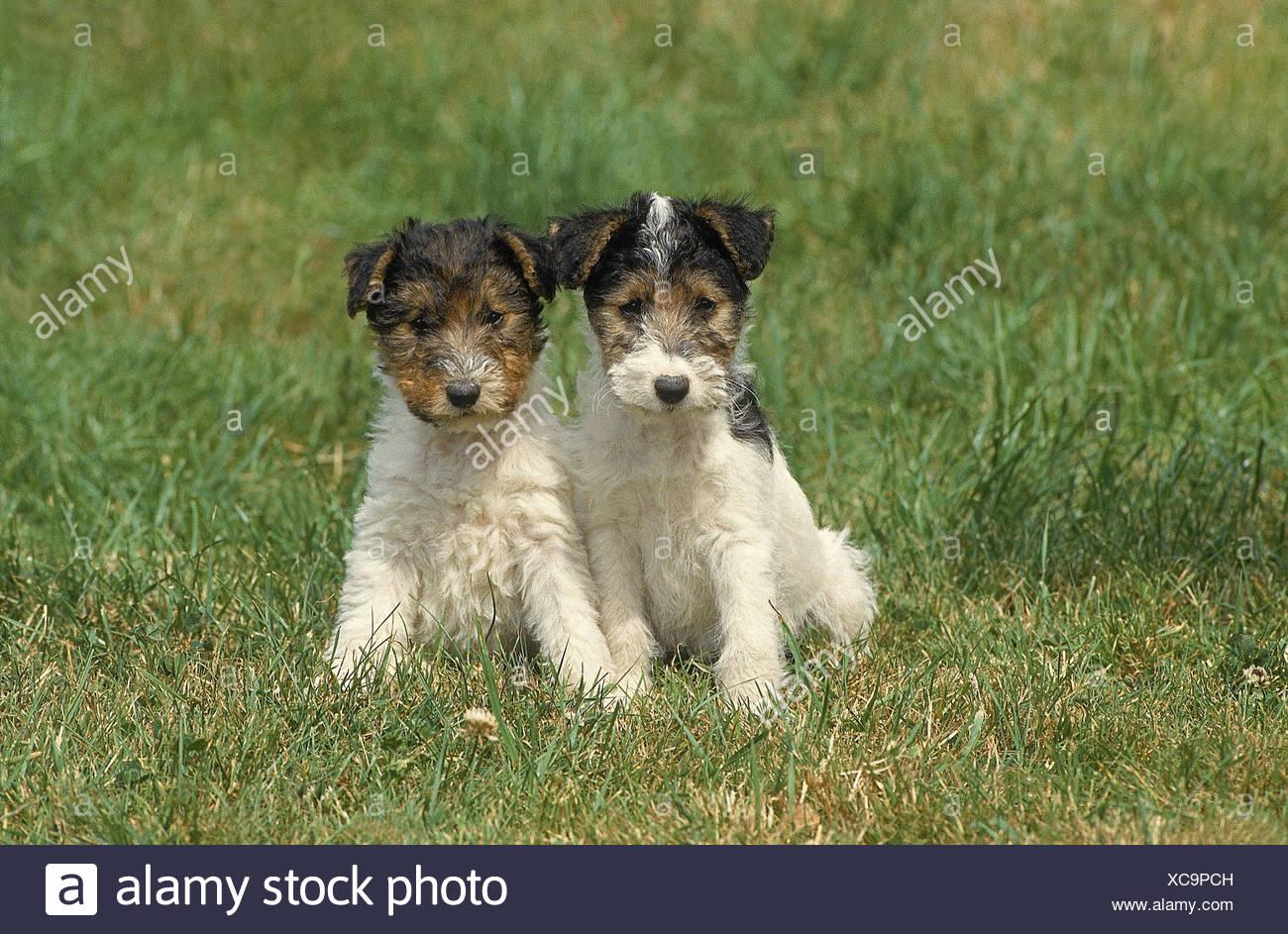 Hund Welpen, Drahthaar Terrier, zwei, Rasen, Sit Stockfoto, Bild ...
