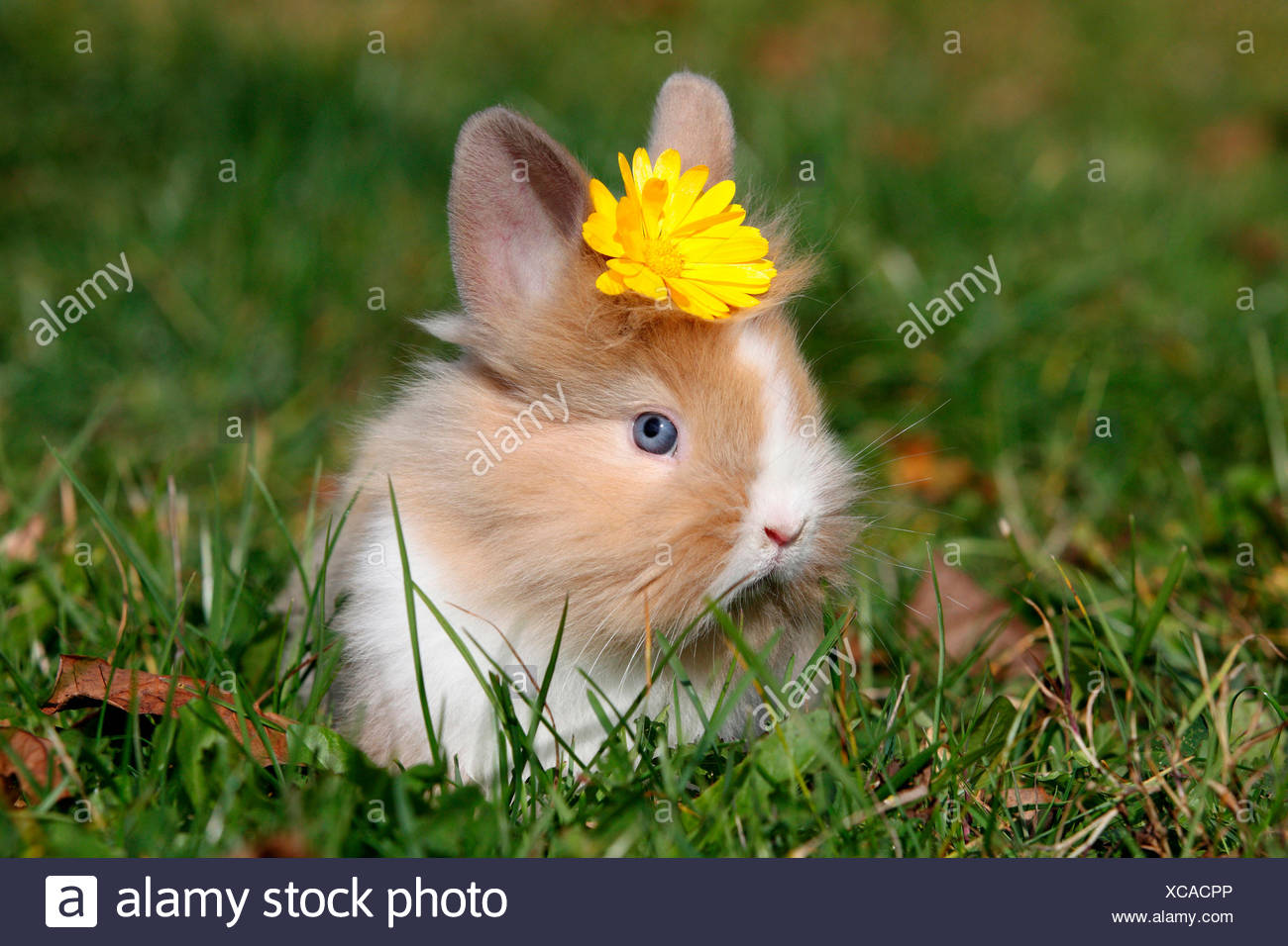 Löwenköpfige Zwerg Kaninchen. Junge sitzt auf einer Wiese, eine gelbe Blume auf dem Kopf tragen. Deutschland Stockfoto