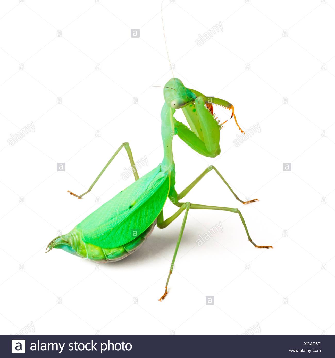 Praying mantis Stockbild