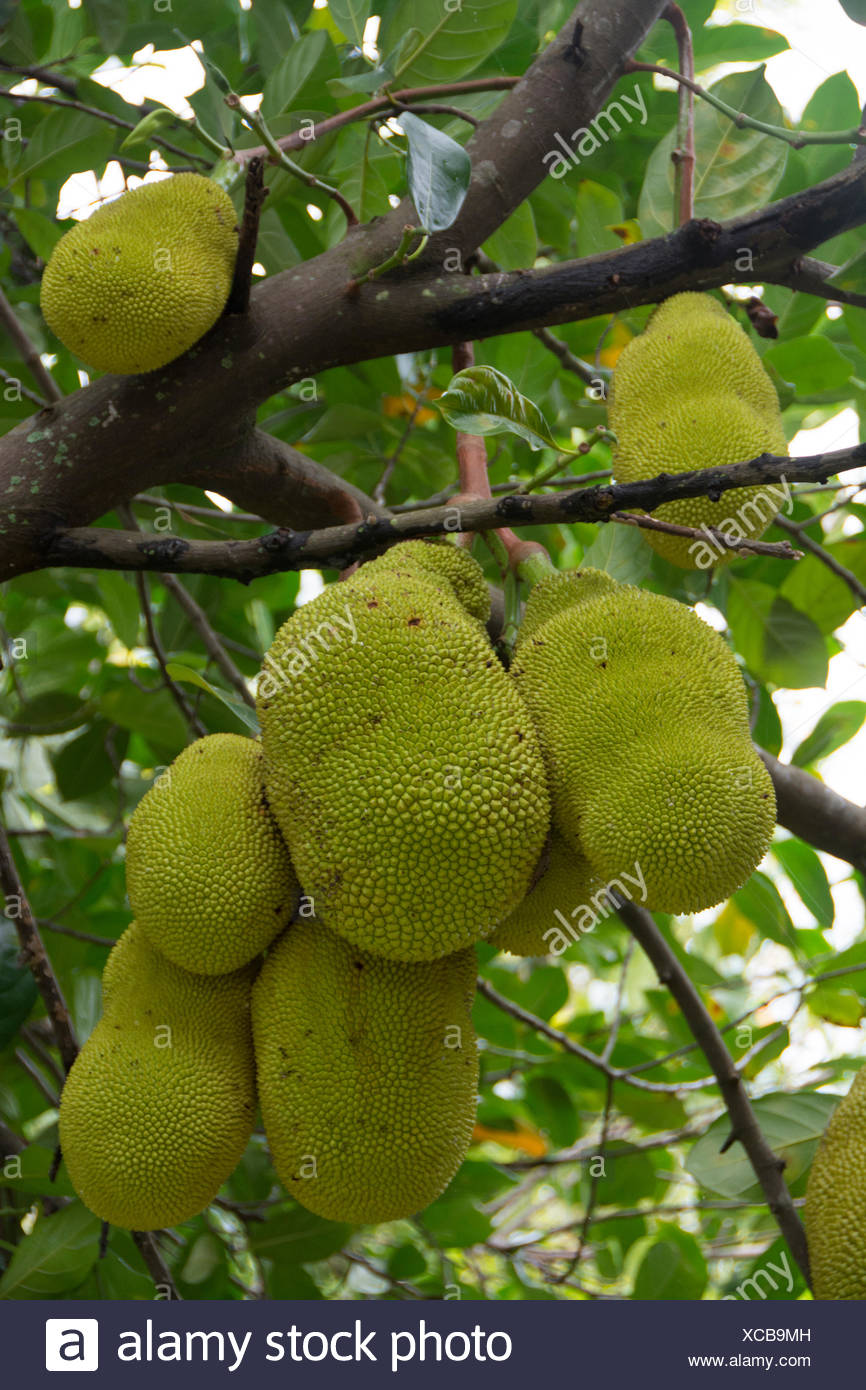 Brotfrucht, Hana Highway, Maui, Hawaii, USA Stockbild