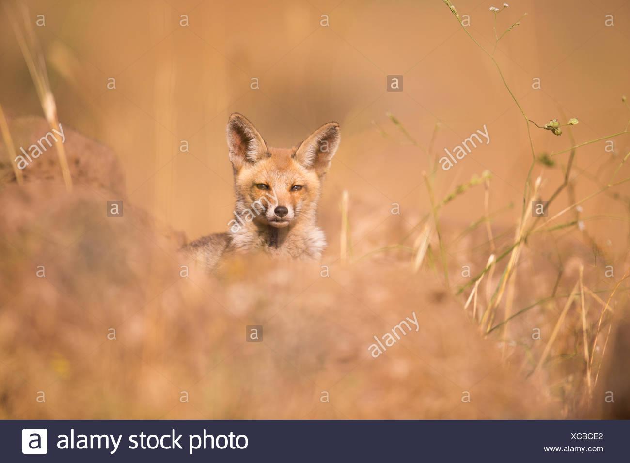 Juvenile Red Fox (Vulpes vulpes). Die Red Fox ist die größte der echte Füchse, als auch geographisch verteilt Mitglied der carnivor Stockbild