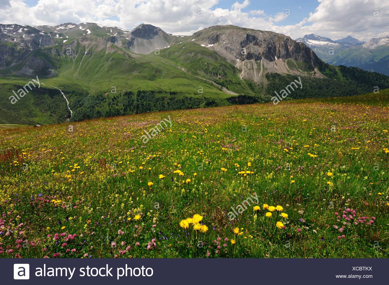 Almwiese Blume Muster Alpenblumen alpine Weide Blumen Blüten Pflanzen Alpenpflanzen Curtginatsch Berge Piz Stockbild