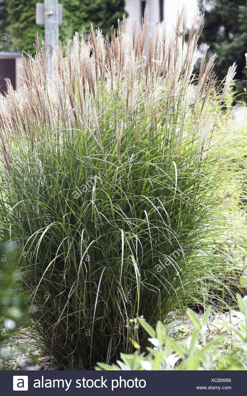 Gräser Strauch Rasen Ziergräser Garten High Dekoration Deko