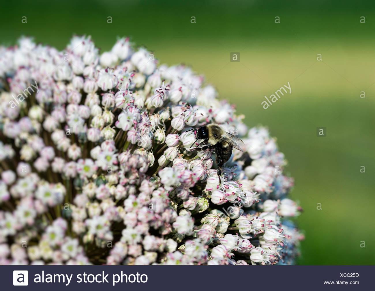Biene auf Zwiebel Blume, Allium. Stockbild