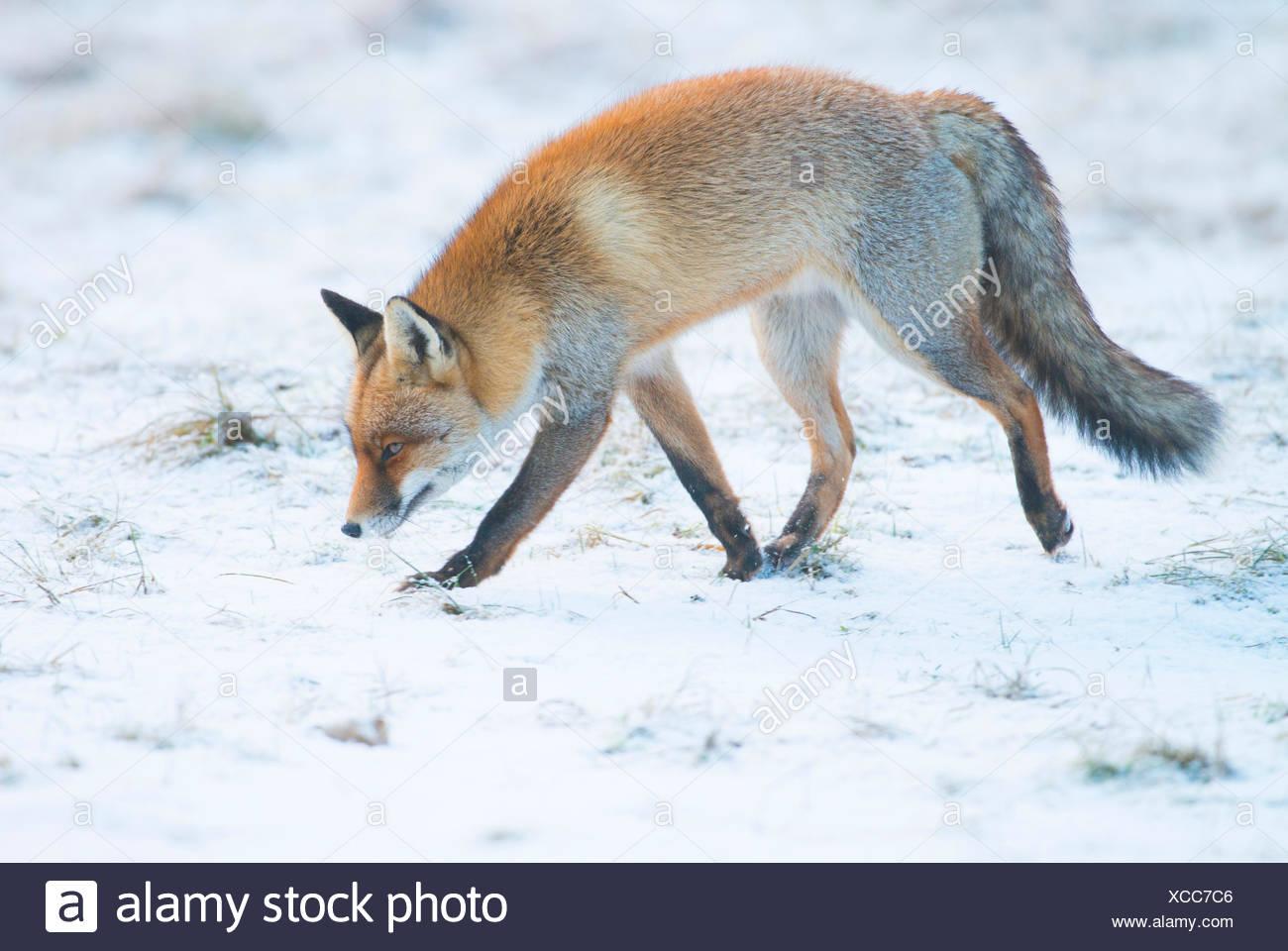 Fuchs Im Winter Stockfoto Bild 283011014 Alamy