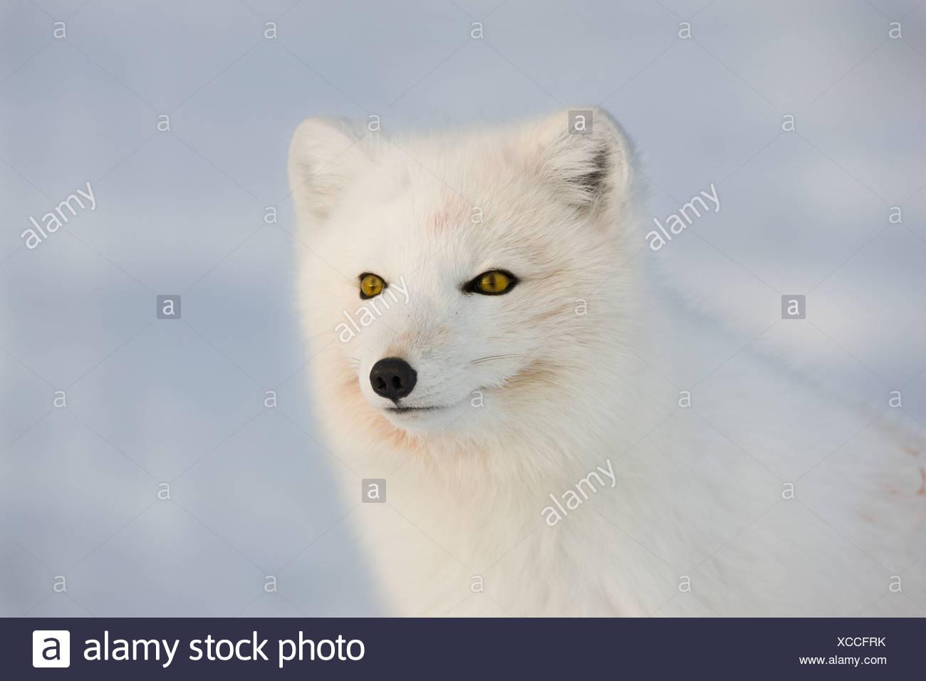 Ein Polarfuchs Erhebungen des eisigen Domäne an einem kalten Wintertag in der Arktis Stockbild