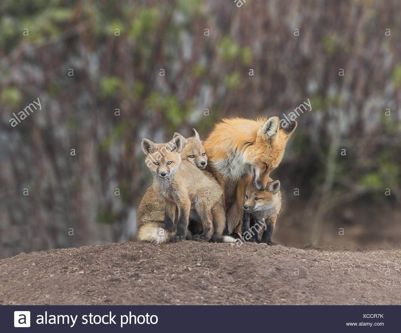 Eine Gruppe von Red fox Kits, Vulpes vulpes, mit Erwachsenen und Pups kleben und Pflege. Stockbild